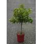 GARTENKRONE Zwerg-Aprikose, Prunus armeniaca, Früchte: süß, zum Verzehr geeignet-Thumbnail
