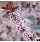 GARTENKRONE Zwerg-Blutpflaume, Prunus cistena, Blütenfarbe rosa/pink-Thumbnail