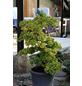 Zwerg - Fächerblattbaum biloba Ginkgo »Troll«-Thumbnail