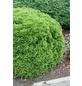 GARTENKRONE Zwerg-Lebensbaum, Thuja occidentalis »Danica«, winterhart-Thumbnail