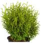 GARTENKRONE Zwerg-Lebensbaum Thuja occidentalis »Tiny Tim«-Thumbnail