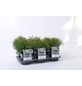 GARTENKRONE Zwerg-Lebensbaum, Thuja occidentalis »Tiny Tim«, winterhart-Thumbnail