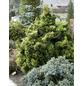 Zwerg-Muschel-Zypresse obtusa Chamaecyparis »Nana Gracilis«-Thumbnail