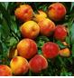 GARTENKRONE Zwerg-Pfirsich, Prunus persica »Bonanza«, Früchte: süß, zum Verzehr geeignet-Thumbnail