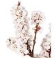 GARTENKRONE Zwerg-Pfirsich, Prunus persica »Crimson Bonfire«, Früchte: süß, zum Verzehr geeignet-Thumbnail