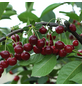 GARTENKRONE Zwerg-Sauerkirsche, Prunus fruticosa »Scharö«, Früchte: süß-säuerlich, zum Verzehr geeignet-Thumbnail