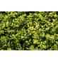 GARTENKRONE Zwerg-Stechpalme Ilex crenata »Golden Gem«-Thumbnail