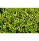 GARTENKRONE Zwerg-Stechpalme, Ilex crenata »Golden Gem«, weiß, winterhart-Thumbnail