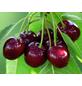 GARTENKRONE Zwerg-Süßkirsche, Prunus fruticosa, Früchte: süß-säuerlich, zum Verzehr geeignet-Thumbnail