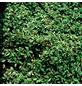 GARTENKRONE Zwergmispel, Cotoneaster dammeri »Coral Beauty«, weiß, winterhart-Thumbnail