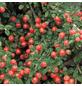 GARTENKRONE Zwergmispel, Cotoneaster dammeri »Eichholz«, weiß, winterhart-Thumbnail
