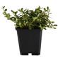 GARTENKRONE Zwergmispel, Cotoneaster Dammeri »Frieders Evergreen«, weiß, winterhart-Thumbnail