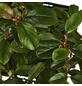 GARTENKRONE Zwergmispel Cotoneaster dammeri »Radicans«-Thumbnail