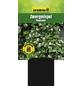 GARTENKRONE Zwergmispel, Cotoneaster dammeri »Radicans«, weiß, winterhart-Thumbnail