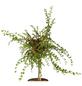 GARTENKRONE Zwergmispel Cotoneaster praecox »Boer«-Thumbnail