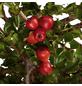 GARTENKRONE Zwergmispel, Cotoneaster praecox »Boer«, weiß, winterhart-Thumbnail