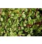 GARTENKRONE Zwergmispel, Cotoneaster Procumbens »Streibs Findling«, weiß, winterhart-Thumbnail