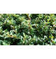 Zwergmispel dammeri Cotoneaster »Eichholz«-Thumbnail