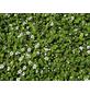 Zwergmispel dammeri Cotoneaster »Fieders Evergreen«-Thumbnail