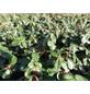 Zwergmispel micro. Cotoneaster »Cochleatus«, Lieferhöhe 15 cm - 20 cm-Thumbnail