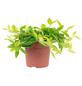 Zwergpfeffer, Peperomia angulata-Thumbnail