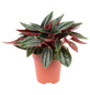 Zwergpfeffer Peperomia  rosso-Thumbnail