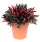 Zwergpfeffer, Peperomia rosso, Topf-Ø: 12cm-Thumbnail