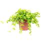 Zwergpfeffer Peperomia rotundifolia-Thumbnail