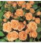 ROSEN TANTAU Zwergrose Rosa hybride »Apricot Clementine«-Thumbnail