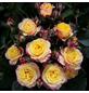 ROSEN TANTAU Zwergrose Rosa hybride »Clementine«-Thumbnail