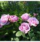 ROSEN TANTAU Zwergrose Rosa hybride »Lavender Ice«-Thumbnail