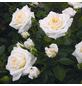 ROSEN TANTAU Zwergrose Rosa x hybrida »Honeymilk«, Weiß-Thumbnail