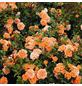 ROSEN TANTAU Zwergrose, Rosa X hybride »Ninetta«, Dunkelorange-Thumbnail