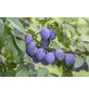 GARTENKRONE Zwetsche, Prunus, Früchte: süß-säuerlich, zum Verzehr geeignet-Thumbnail
