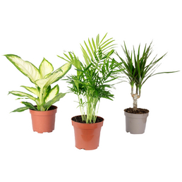 3er-Set Zimmerpflanzen Chamaedorea, Dieffenbachie, Dracaena, Chamadorea, im Topf