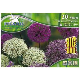 PEGASUS Allium Purpur-Mischung Big Bag, 20 Stück