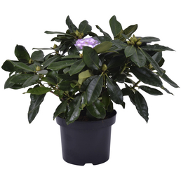 GARTENKRONE Alpenrose Rhododendron  »Gomer Waterer«