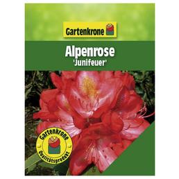 GARTENKRONE Alpenrose, Rhododendron hybride »Junifeuer«, rosa/pink, Höhe: 30 - 40 cm