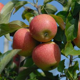 GARTENKRONE Apfel, Malus domestica »Pinova«, Früchte: süß, zum Verzehr geeignet