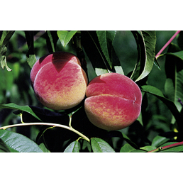 GARTENKRONE Aprikose, Prunus armeniaca »Early Orange«, Früchte: süß, zum Verzehr geeignet