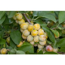 GARTENKRONE Aprikose, Prunus armeniaca »Nancy«, Früchte: süß, zum Verzehr geeignet