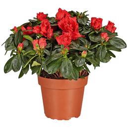 GARTENKRONE Azalee, Rhododendron simsii, rot, Höhe: 40 - 60 cm