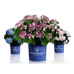 Ballhortensie macrophylla Hydrangea »Endless Summer The Bride«