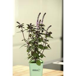 GREENBAR Basilikum 3er Set, Ocimum Basilicum, Blütenfarbe: lila