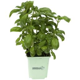 GREENBAR Basilikum 3er Set, Ocimum Basilicum, Blütenfarbe: weiß