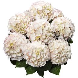 Bauernhortensie macrophylla Hydrangea »Kanmara die Schöne«
