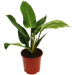 Baumfreund, Imperial Green Philodendron, Topf-Ø: 19cm