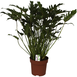 Baumfreund Xanadu Philodendron