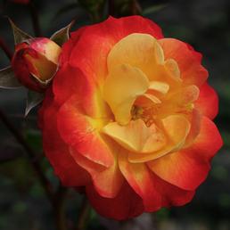 KORDES ROSEN Beetrose, Rosa »Firebird®«, Blüte: gelb, gefüllt