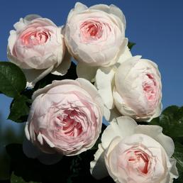 KORDES ROSEN Beetrose, Rosa »Herzogin Christiana®«, Blüte: weiß/rosa, gefüllt